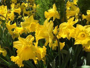 Spring Daffodils Flowers